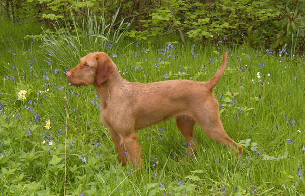 Apple - Amiryck Gundog